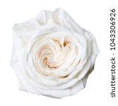 white rose isolated on white   Shutterstock . vector #1043306926