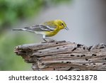 Pine Warbler in Early Spring in Louisiana