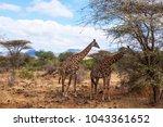 giraffe in tsavo west national... | Shutterstock . vector #1043361652
