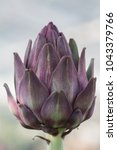 Small photo of purple hued unopened artichoke plant