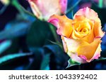 yellow rose background | Shutterstock . vector #1043392402
