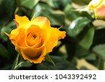 beautiful yellow rose | Shutterstock . vector #1043392492