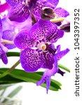 purple vanda orchid  | Shutterstock . vector #1043397352