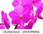 pink vanda orchid | Shutterstock . vector #1043398846