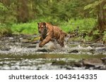 the siberian tiger  amur tiger  ... | Shutterstock . vector #1043414335
