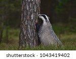 beautiful european badger ... | Shutterstock . vector #1043419402