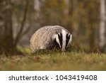 beautiful european badger ... | Shutterstock . vector #1043419408