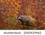beautiful european badger ... | Shutterstock . vector #1043419462