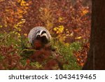 beautiful european badger ... | Shutterstock . vector #1043419465
