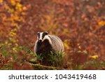 beautiful european badger ... | Shutterstock . vector #1043419468