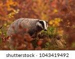 beautiful european badger ... | Shutterstock . vector #1043419492