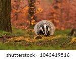 beautiful european badger ... | Shutterstock . vector #1043419516