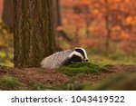 beautiful european badger ... | Shutterstock . vector #1043419522