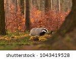 beautiful european badger ... | Shutterstock . vector #1043419528