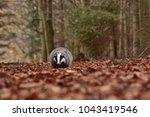 beautiful european badger ... | Shutterstock . vector #1043419546