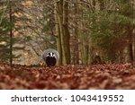 beautiful european badger ... | Shutterstock . vector #1043419552