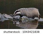 beautiful european badger ... | Shutterstock . vector #1043421838