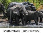 elephant family having a drink... | Shutterstock . vector #1043436922