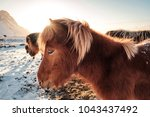 typical icelandic hairy horse... | Shutterstock . vector #1043437492