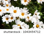 field of white daisies or... | Shutterstock . vector #1043454712