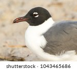 A Portrait Of A Laughing Gull...