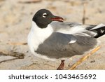 A Laughing Gull Resting On The...