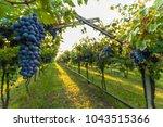 grape harvest italy | Shutterstock . vector #1043515366