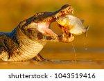 crocodile catch fish in river... | Shutterstock . vector #1043519416