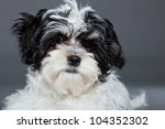 cute black and white boomer dog ... | Shutterstock . vector #104352302