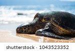 Hawaiian Sea Turtle Honu...