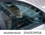 Stock photo dog left alone in locked car abandoned animal in closed space danger of pet overheating or 1043529928