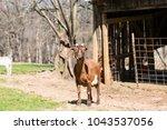 friendly farm goat in a field...   Shutterstock . vector #1043537056