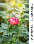 Stock photo roses in the garden roses are beautiful with a beautiful sunny day 1043555812