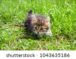 Stock photo  little furry kitten playing in spring meadow kitten on green grass healthy lifestyle 1043635186