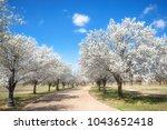 White Bradford Pear Trees...