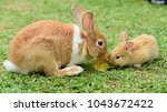 Stock photo cute rabbit brown and white rabbit mother and baby walking in the lawn little rabbits are 1043672422
