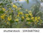 cluster of tomato flowers on... | Shutterstock . vector #1043687062