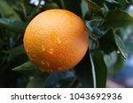 mediterranean orange garden. ... | Shutterstock . vector #1043692936