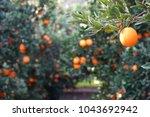 mediterranean orange garden. ... | Shutterstock . vector #1043692942