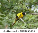 the black hooded oriole is a... | Shutterstock . vector #1043758405