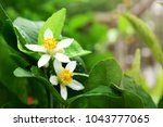close up of lime flowers ... | Shutterstock . vector #1043777065