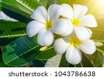 plumeria on the plumeria tree... | Shutterstock . vector #1043786638
