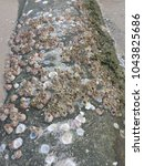 Small photo of Acorn Barnacle Oceana