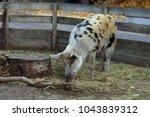domestic swine. danish black... | Shutterstock . vector #1043839312