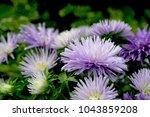 purple flowers blooming in... | Shutterstock . vector #1043859208