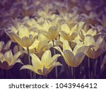 beautiful yellow tulips in the...   Shutterstock . vector #1043946412