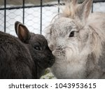 Stock photo two dwarf rabbits a white and a grey one cleaning each other 1043953615