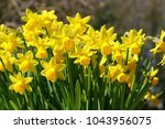 sunbeams at blooming narcissus...   Shutterstock . vector #1043956075