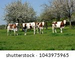 dairy cows of norman breed at...   Shutterstock . vector #1043975965