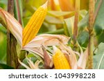 yellow cob of sweet corn on the ... | Shutterstock . vector #1043998228